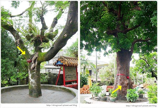 [宜蘭景點●冬山]  大興社區 — ♥太新奇♥ 辦過結婚儀式,具有兩性性徵的夫妻樹令人大開眼界